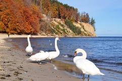 Cisnes azules en la costa de mar Báltico Fotografía de archivo