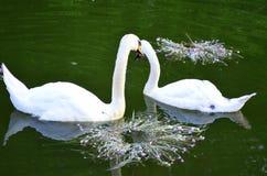 Cisnes blancos Fotos de archivo