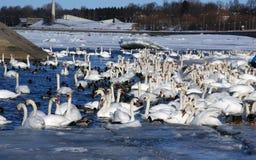 Cisnes blancos Foto de archivo libre de regalías