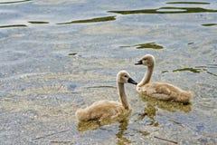 Cisnes blancos Imagen de archivo libre de regalías