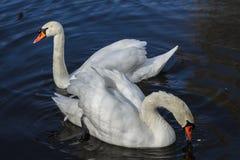 Cisnes blancos Imagen de archivo
