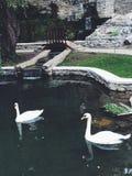 Cisnes blancos Imágenes de archivo libres de regalías