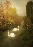 Cisnes blancos Fotos de archivo libres de regalías