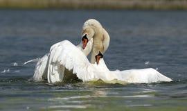 Cisnes blancos Imagenes de archivo