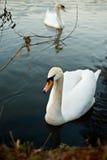 Cisnes blancos. Foto de archivo libre de regalías