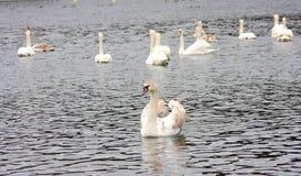 Cisnes blancos agraciados en un agua Fotos de archivo