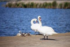 Cisnes blancos con los polluelos Familia de pájaros Imágenes de archivo libres de regalías