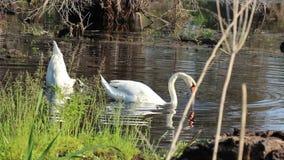 Cisnes blancos con su cabeza debajo del agua metrajes
