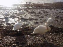 Cisnes blancos en Berwick sobre el tweed, Northumberland Reino Unido Imagenes de archivo