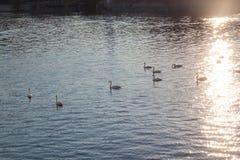 Cisnes blancos en el agua en la puesta del sol fotografía de archivo libre de regalías