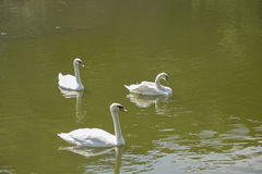 Cisnes blancos en el lago imagen de archivo