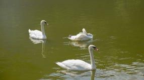 Cisnes blancos en el lago fotografía de archivo libre de regalías