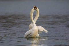 Cisnes blancos en el lago fotos de archivo libres de regalías