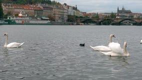 Cisnes blancos en el puente de Charles, río de Moldava Panorama de la ciudad del puente de Praga Charles viejo, cisne, pato, Repú almacen de video