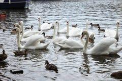 Cisnes blancos en el río Fotografía de archivo