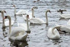 Cisnes blancos en el río Imágenes de archivo libres de regalías