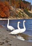 Cisnes blancos en la costa de mar Báltico Foto de archivo libre de regalías