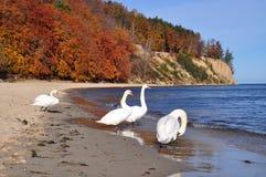 Cisnes blancos en la costa de mar Báltico Fotos de archivo libres de regalías