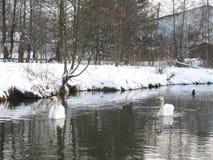 Cisnes blancos en marzo foto de archivo