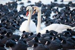 Cisnes blancos en un lago, alrededor de muchas fochas. Imágenes de archivo libres de regalías