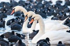 Cisnes blancos en un lago, alrededor de muchas fochas. Imagenes de archivo