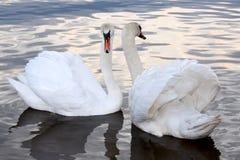 Cisnes blancos en una charca Imagen de archivo libre de regalías