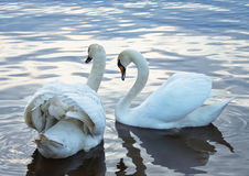 Cisnes blancos en una charca Foto de archivo libre de regalías