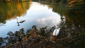 Cisnes blancos en una charca, otoño, naturaleza, paisaje escénico almacen de video