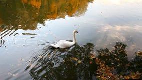 Cisnes blancos en una charca, otoño, naturaleza, paisaje escénico metrajes