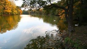 Cisnes blancos en una charca, otoño, naturaleza, paisaje escénico almacen de metraje de vídeo