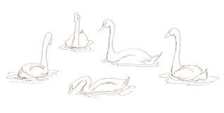 Cisnes blancos fijados Fotografía de archivo libre de regalías
