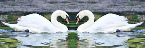 Cisnes blancos gemelos que flotan en el lago Imagen de archivo