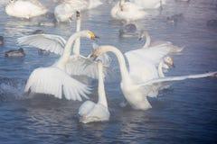 Cisnes blancos hermosos el chillar Imagen de archivo libre de regalías