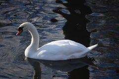 Cisnes blancos hermosos y agraciados, el pájaro más hermoso en la tierra Nadan en el frío del río del invierno debajo del sol Imágenes de archivo libres de regalías