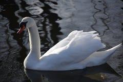 Cisnes blancos hermosos y agraciados, el pájaro más hermoso en la tierra Nadan en el frío del río del invierno debajo del sol Imagen de archivo
