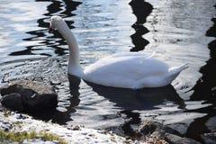 Cisnes blancos hermosos y agraciados, el pájaro más hermoso en la tierra Nadan en el frío del río del invierno debajo del sol Foto de archivo