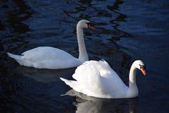 Cisnes blancos hermosos y agraciados, el pájaro más hermoso en la tierra Nadan en el frío del río del invierno debajo del sol Fotos de archivo