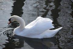 Cisnes blancos hermosos y agraciados, el pájaro más hermoso en la tierra Nadan en el frío del río del invierno debajo del sol Imagen de archivo libre de regalías