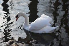 Cisnes blancos hermosos y agraciados, el pájaro más hermoso en la tierra Nadan en el frío del río del invierno debajo del sol Fotografía de archivo libre de regalías