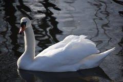 Cisnes blancos hermosos y agraciados, el pájaro más hermoso en la tierra Nadan en el frío del río del invierno debajo del sol Foto de archivo libre de regalías