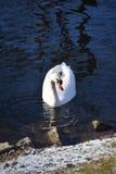 Cisnes blancos hermosos y agraciados, el pájaro más hermoso en la tierra Nadan en el frío del río del invierno debajo del sol Fotos de archivo libres de regalías