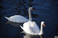 Cisnes blancos hermosos y agraciados, el pájaro más hermoso en la tierra Nadan en el frío del río del invierno debajo del sol Imagenes de archivo