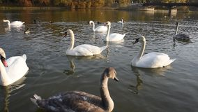 Cisnes blancos pacíficos que flotan en el río durante puesta del sol del otoño metrajes