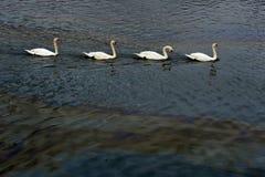 Cisnes blancos y derramamiento de petróleo en la bahía Imagenes de archivo