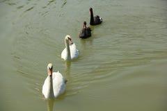 Cisnes blancos y negros Imagen de archivo
