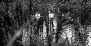 Cisnes blancos y negros Fotografía de archivo