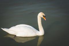 Cisnes bonitas no rio Imagens de Stock Royalty Free