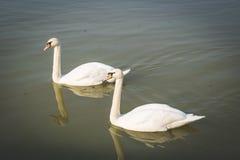 Cisnes bonitas no rio Foto de Stock Royalty Free