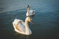 Cisnes bonitas no rio Imagem de Stock