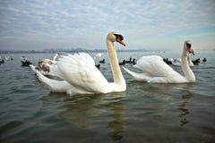 Cisnes brancas Fotos de Stock Royalty Free